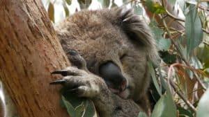 koala-1179284_960_720