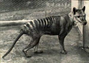 tasmanian_tiger_wideweb__430x305