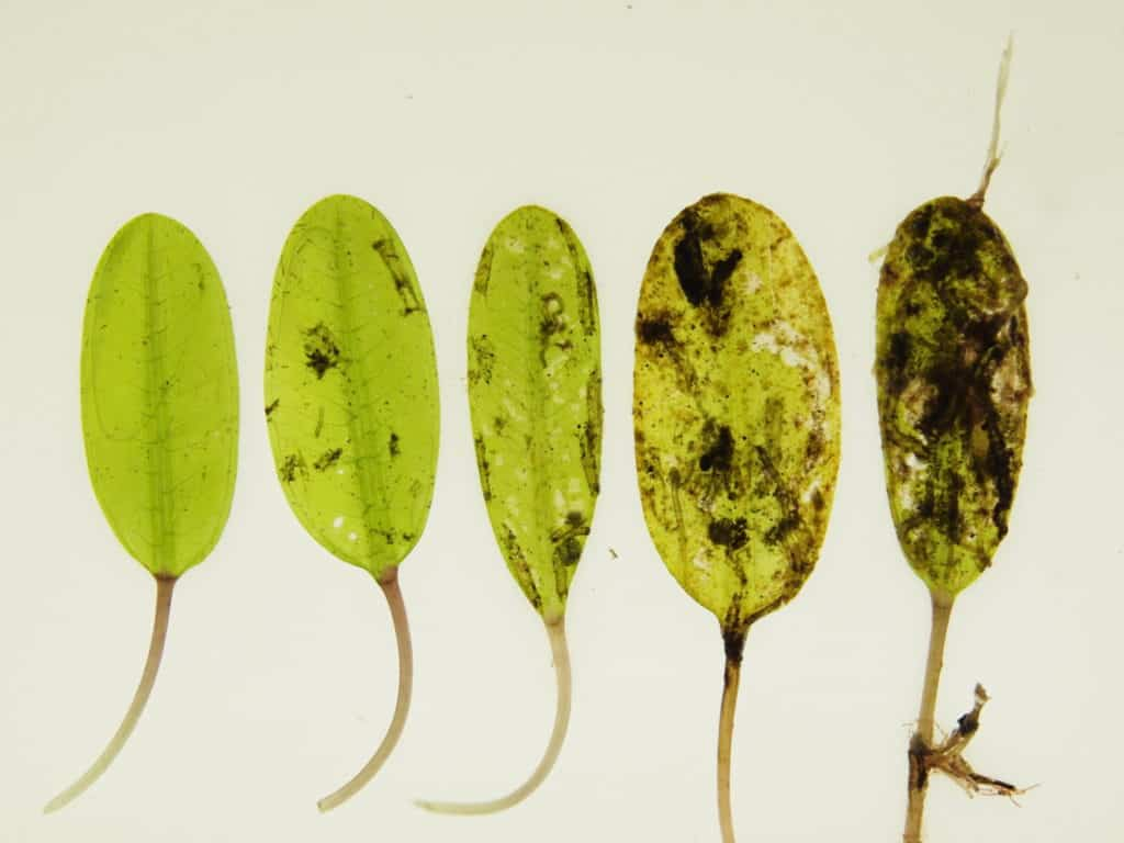 Samples of Dugong grass (Halophila ovalis) showing varying epiphyte loads (increasing from left to right)