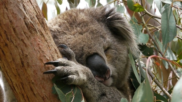 VIDEO: Searching for Koalas in South East Queensland