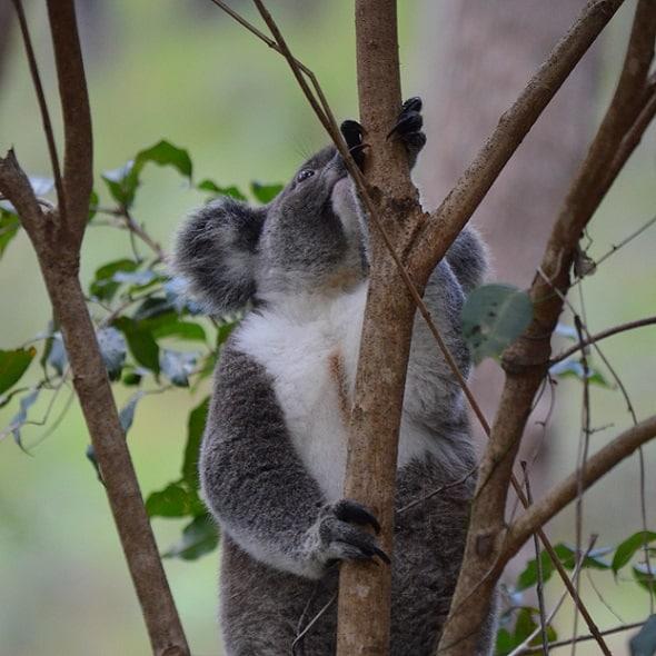 Koala Offset Management – Tallebudgera QLD