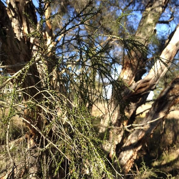 The Melaleuca irbyana Project – South East QLD