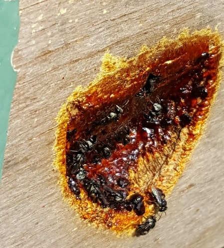 VIDEO: Native stingless bees – Rescue and recovery (Part 1)