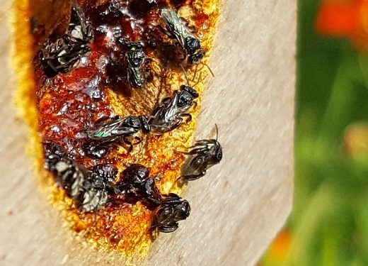 VIDEO: Native stingless bees – Rescue and recovery (Part 2)