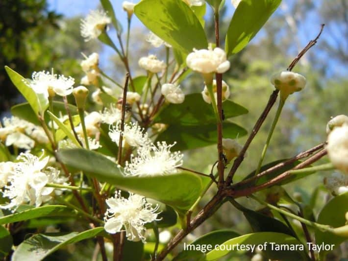 VIDEO: Back from the Brink – Part 3: The Angle-stemmed Myrtle (Gossia gonoclada)