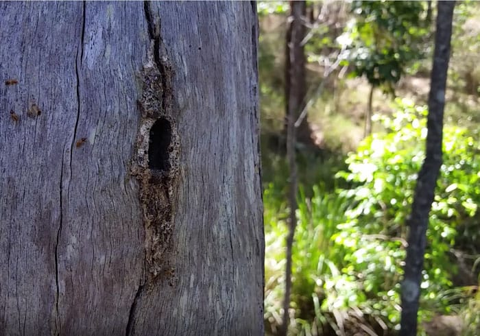 VIDEO: Budding a native bee hive
