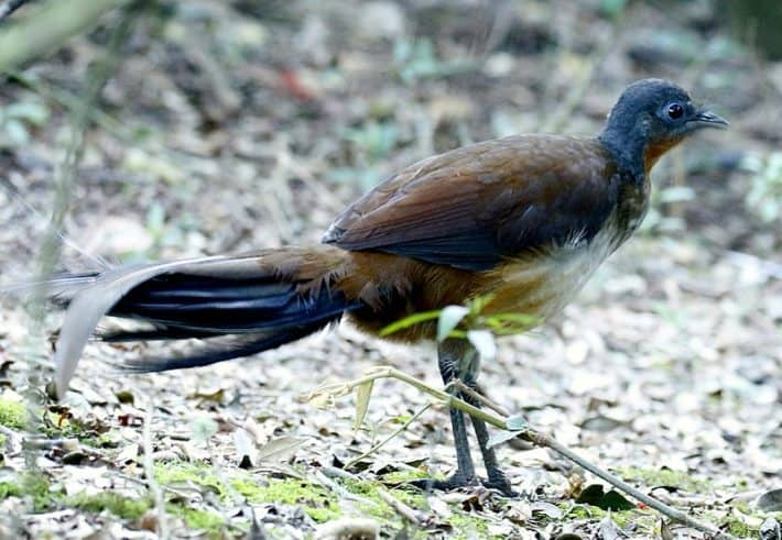 VIDEO: Back from the Brink – Part 5: The Albert's Lyrebird