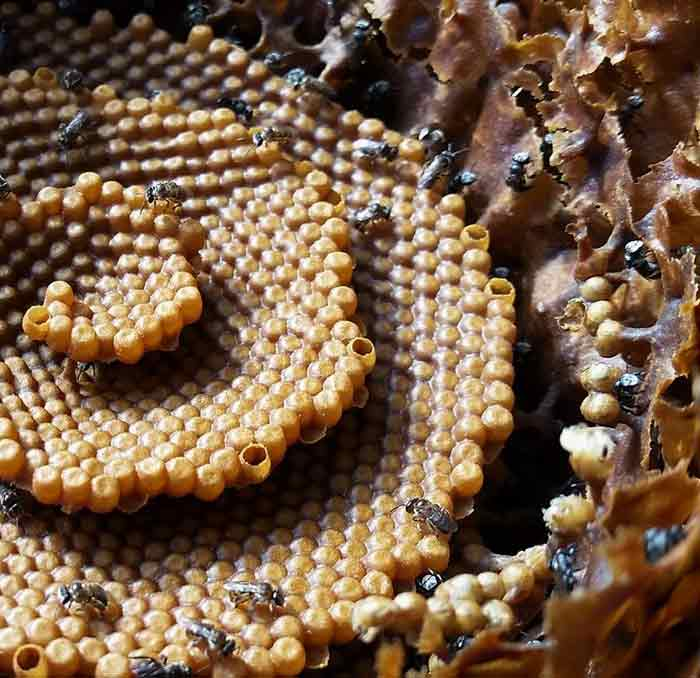 VIDEO: Native stingless bees – Adding brood to a budding box