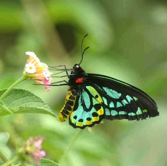 VIDEO: Back from the Brink – Part 6: Richmond Birdwing Butterfly