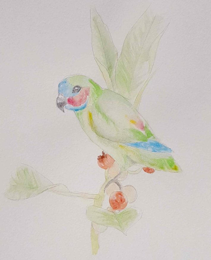 The rare and beautiful Coxen's fig-parrot – How you can help!