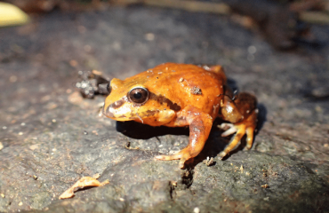 Red and Yellow Mountain Frog