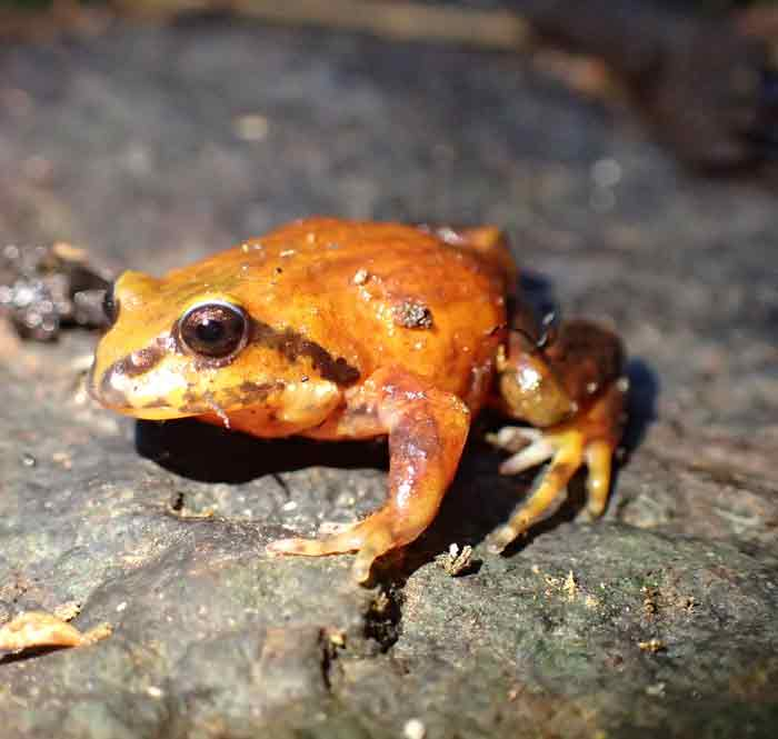VIDEO: Back from the Brink – Part 8: The Red and Yellow Mountain Frog