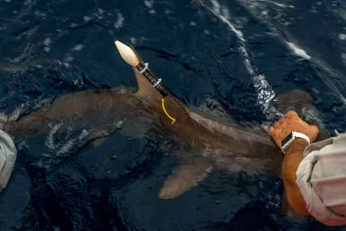 VIDEO: Back from the Brink – Part 9: The Scalloped Hammerhead Shark