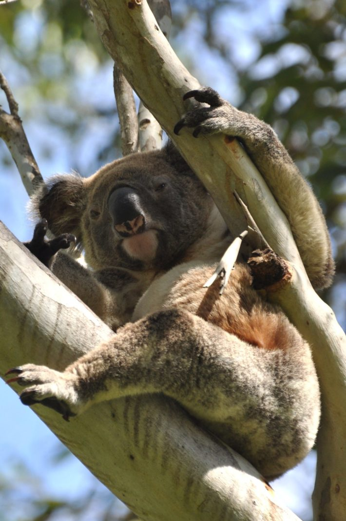 VIDEO: Back from the Brink – Koala