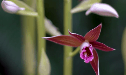 VIDEO: Back from the Brink – Part 11: Swamp Orchid