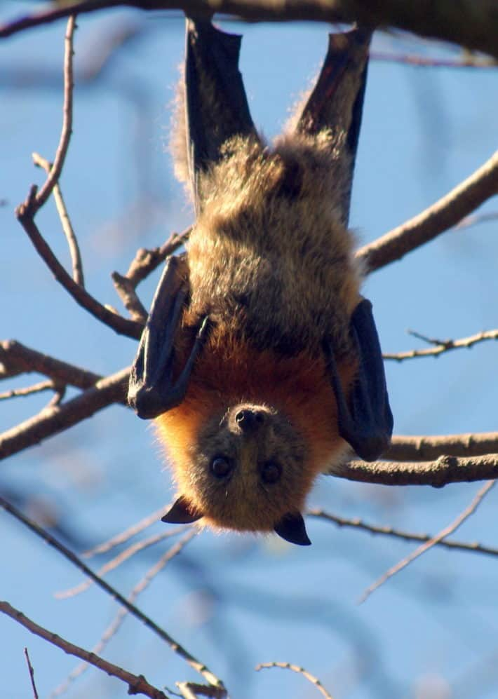 VIDEO: Back from the Brink – Grey-headed Flying Fox