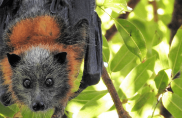 Grey-headed Flying-fox