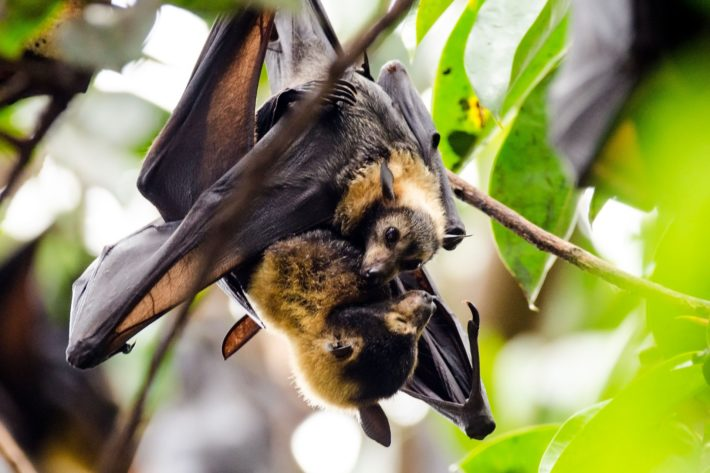 Bat Education for the Australian Curriculum