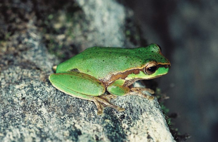 VIDEO: Back from the Brink – Cascade Tree-frog