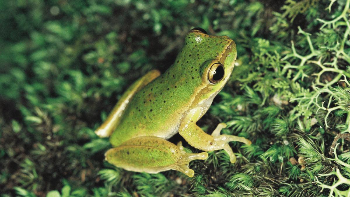Cascade Tree-frog