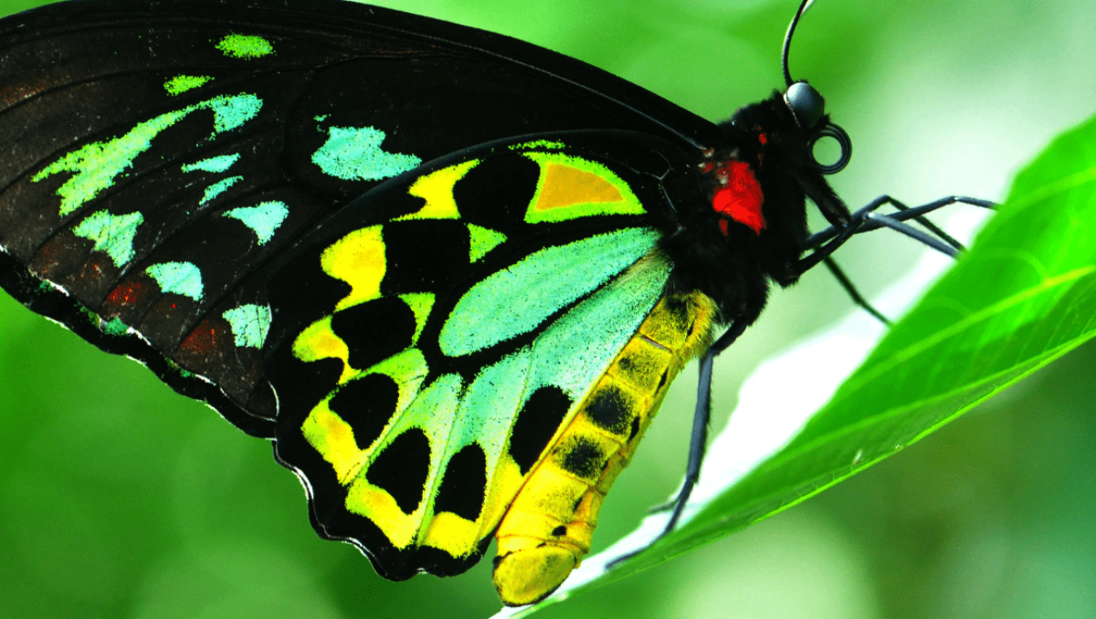 Natura Pacific Richmond Birdwing